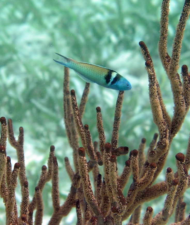 Bodião de cabeça azul. Encontrado na Barreira de Recifes de Corais de Belize.  Fotografia:Tibor Marcinek.