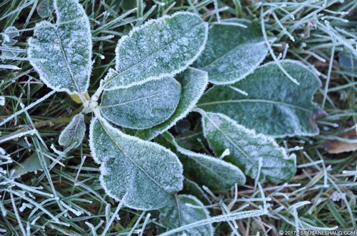 #frost #leaves #green #cold #Norway #Autumn #SousaNeshaug (C) 2017 Sousa & Neshaug Photography - http://sousaneshaug.com