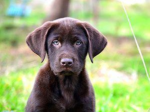 Walking Puppies | Cesar Millan    How to start walking a puppy