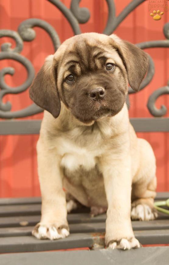 Charlie - Cane Corso (Italian Mastiff) Puppy for Sale in Dornsife, PA   Lancaster Puppies