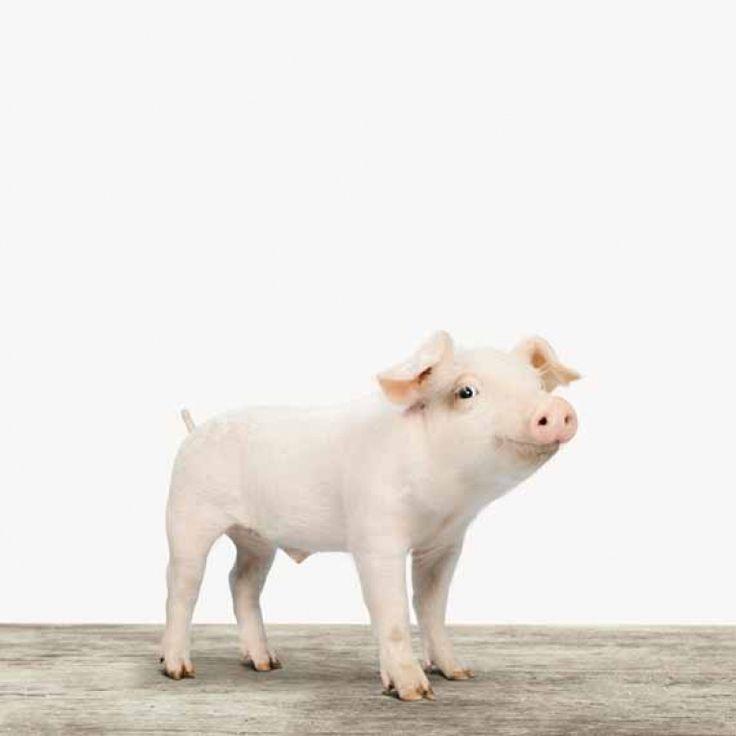Sei kein Ferkel, kaufe ein Ferkel! Dieses neunmalkluge Schweinchen wartet auf dich!