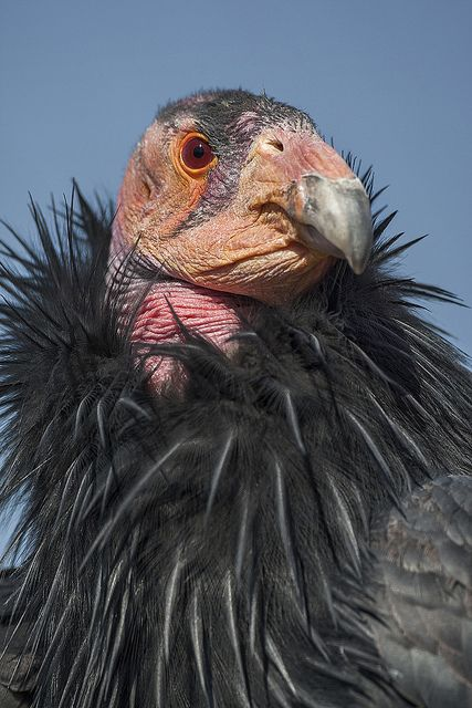 California Condor...not the prettiest, but they are WONDERFUL!