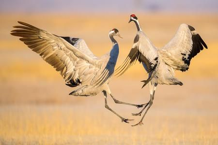 The dance of the cranes Photo by Enrique del Campo — National Geographic Your Shot