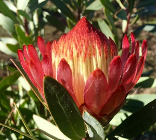 Protea Red Robyn