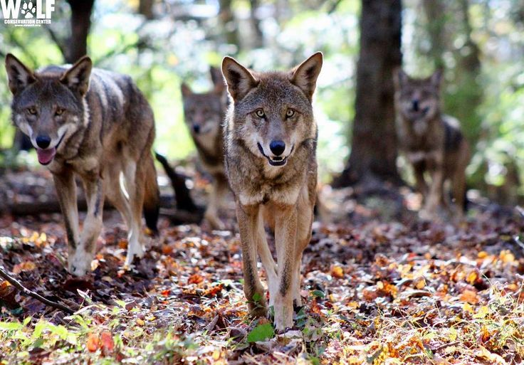 A pack of red wolves at the Wolf Conservation Center. Hard to believe that these 4 wolves represent about 1/10th of the number of red wolves in the wild. We hope you will help us preserve the red wolf's place in the wild. Photo by WCC Curator Rebecca Bose #endangeredspecies #redwolf #wolfpack #wolf #wolfconservationcenter #extinctionisforever #nature #conservation