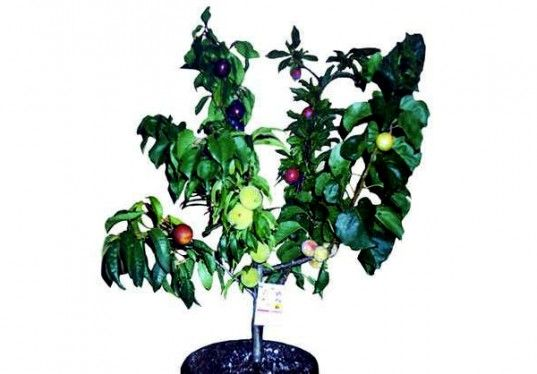 green design, eco design, sustainable design, Fruit Salad Tree, Multi fruit tree, James West, Kerry West, grafted trees, botanical hybrid