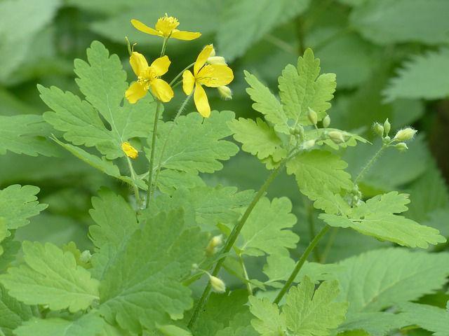 Chélidoine (Chelidonium majus) ou herbe aux verrues : plantation, entretien