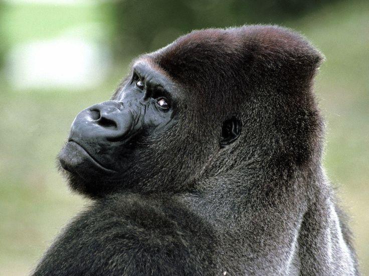 Descifran el genoma del gorila.