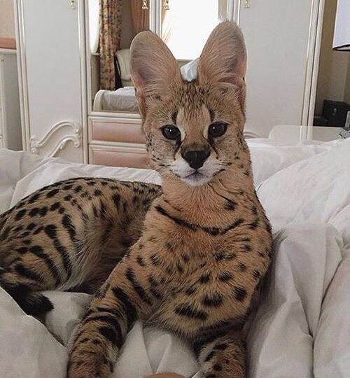 ✦⊱ɛʂɬཞɛƖƖą⊰✦  Beautiful Serval