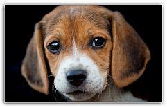 Рацион и порядок кормления щенков Первые недели и месяцы жизни любого живого существа закладывают основу к его дальнейшему существованию. Собачье потомство не являются исключением в этом правиле.  Сразу после рождения всем необходимым щенка обеспечивает ... http://c.cpl1.ru/7kNM