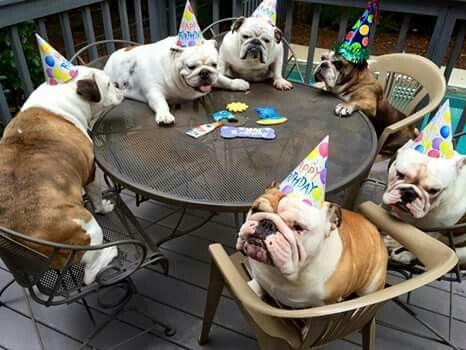 Birthday Cake Bulldog