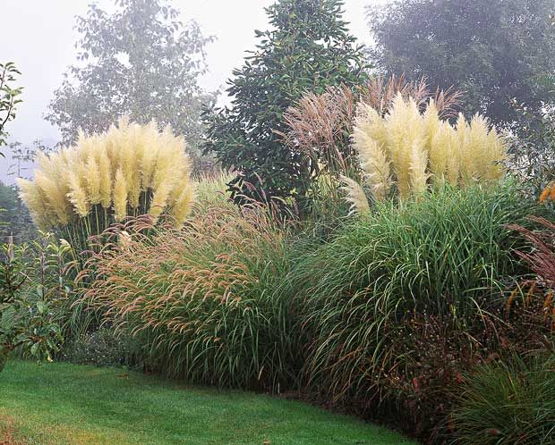 Growing between miscanthus grasses are two big clumps of the free-flowering, short pampas grass Cortaderia selloana 'Pumila' - a bright beacon in the late-season garden