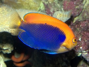 34 best delightful dwarf angelfish images on pinterest for What is the scientific name for fish