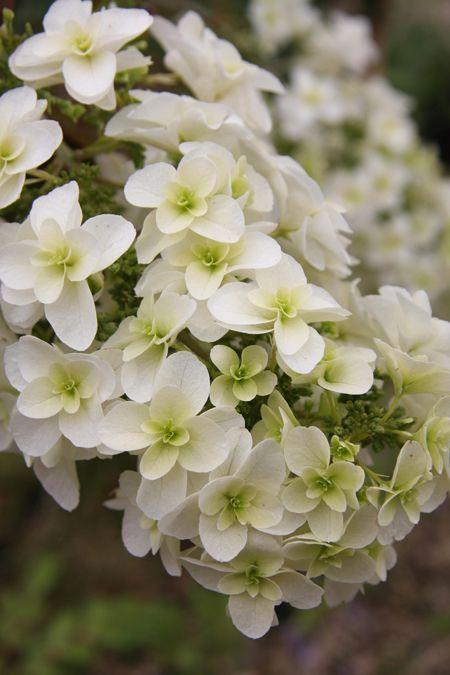 White ~ Hydrangea quercifolia 'Lady Anne'