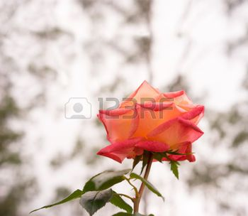 rouw%3A+roos+bloem+achtergrond+met+neutrale+kopie+ruimte+geschikt+voor+sympathie%2C+deelneming%2C+begrafenis+of+rouw+of+verdrietig+wenskaart
