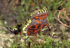Fire-bellied toad, part of an exhibition called Frogs: A Chorus of Colors, May 18, 2013-January 5, 2014