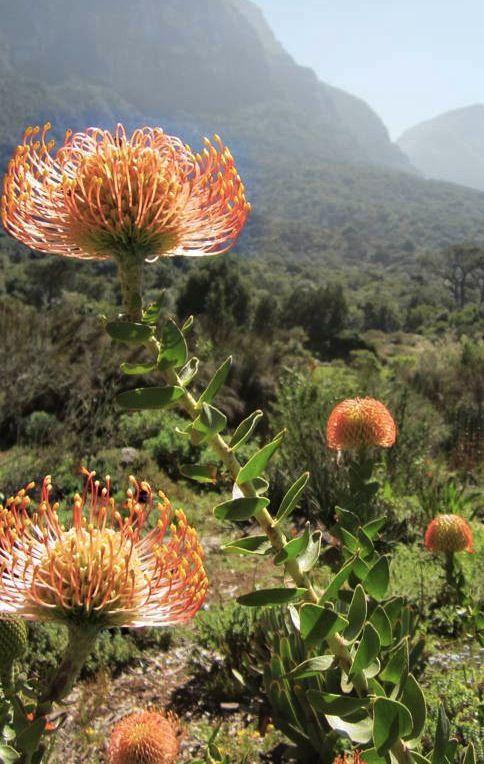 pincushion protea - Beautiful!