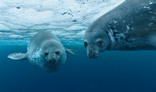 Baby seal swims underwater for the first time.