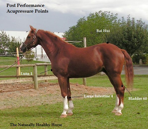 The post-performance acupressure pointsshould be used after tack has been removed and your horse has been cooled down.