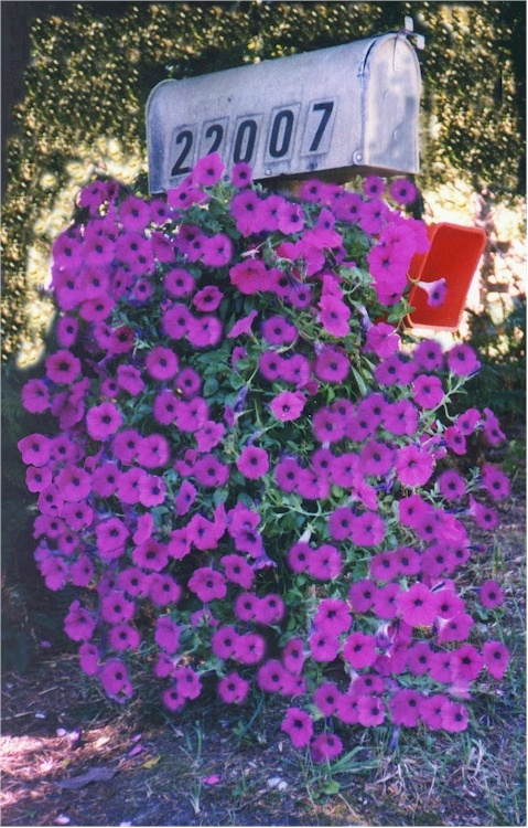 Hanging Flower Baskets Spokane : Best images about wave petunias ride the on