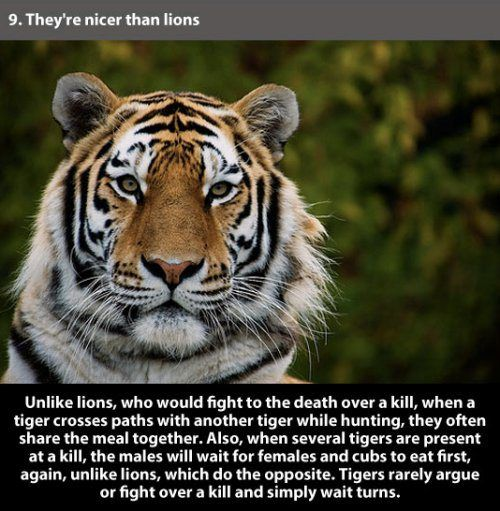 Amazing facts about tigers