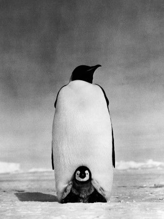 h-armstrong-roberts-emperor-penguin-with-chick-resting-on-it-s-feet-to-keep-warm