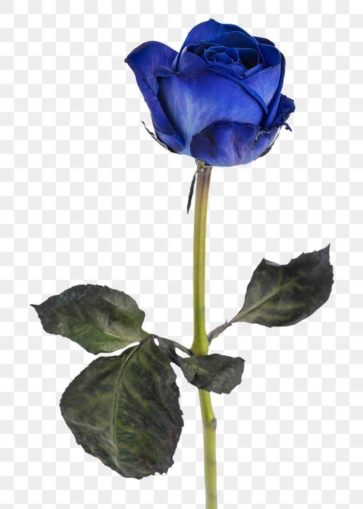 Blue Rose Flower Transparent Png Free Image By Rawpixel Com Jira Rose Flower Png Love Png Blue Rose