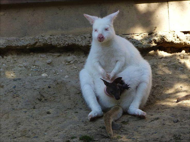 hurra albino kaenguru mutter mit einem braunen baby 092a477d 0371 48f5 9b80. Black Bedroom Furniture Sets. Home Design Ideas