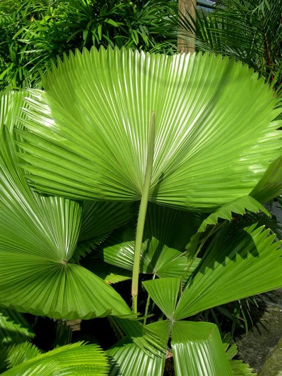 Image Of Licuala Grandis Ruffled Fan Palm Florida