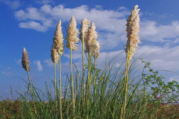 """""""Pampas Grass"""" thurrock nature reserve. essex. oct 2014"""