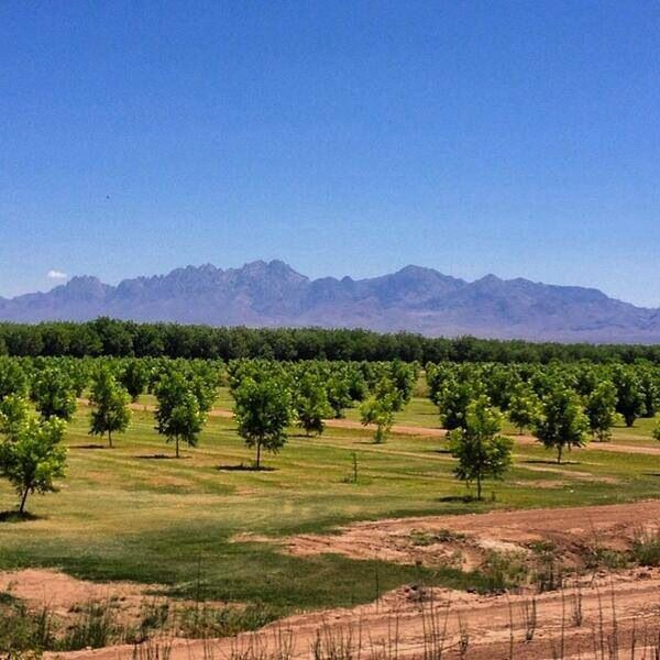 Las Cruces pecan orchard - Nice shot of the Organ Mtns. in background!