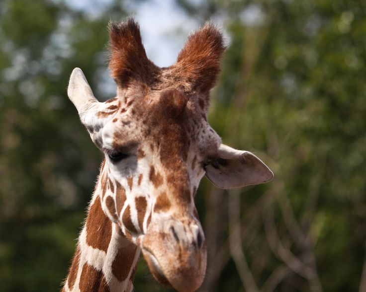 sad giraffe image - Google Search