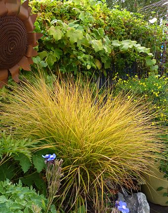 "Anemanthele lessoniana ""New Zealand Wind Grass"""