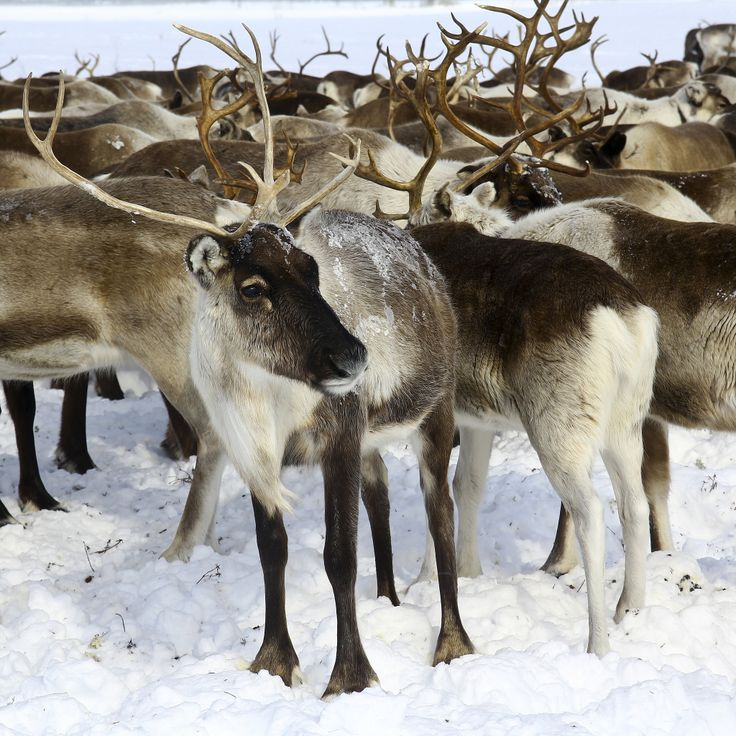 Test your reindeer knowledge!