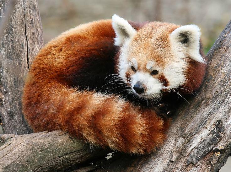 26 Best Panda Roux Images On Pinterest