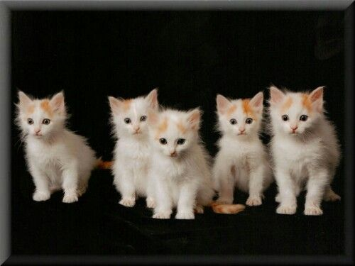Gatitos van turco