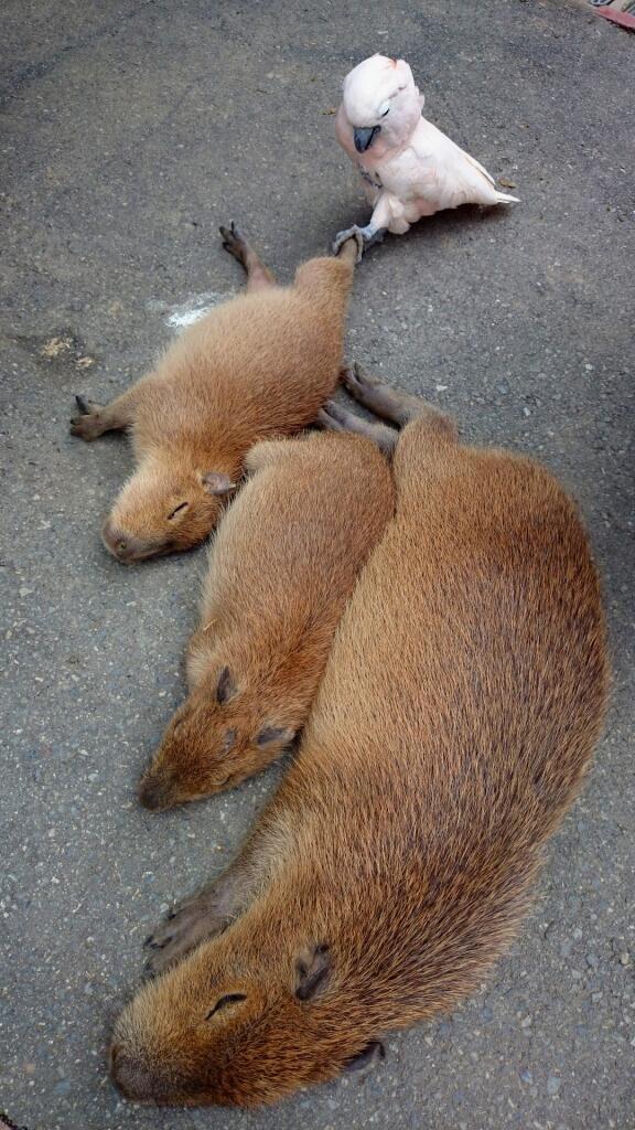 あまりに爆睡中なので、足引っ張ってみました(^^) #動物 #動物園 #カピバラ #animal #zoo pic.twitter.com/E66GcwSuaY
