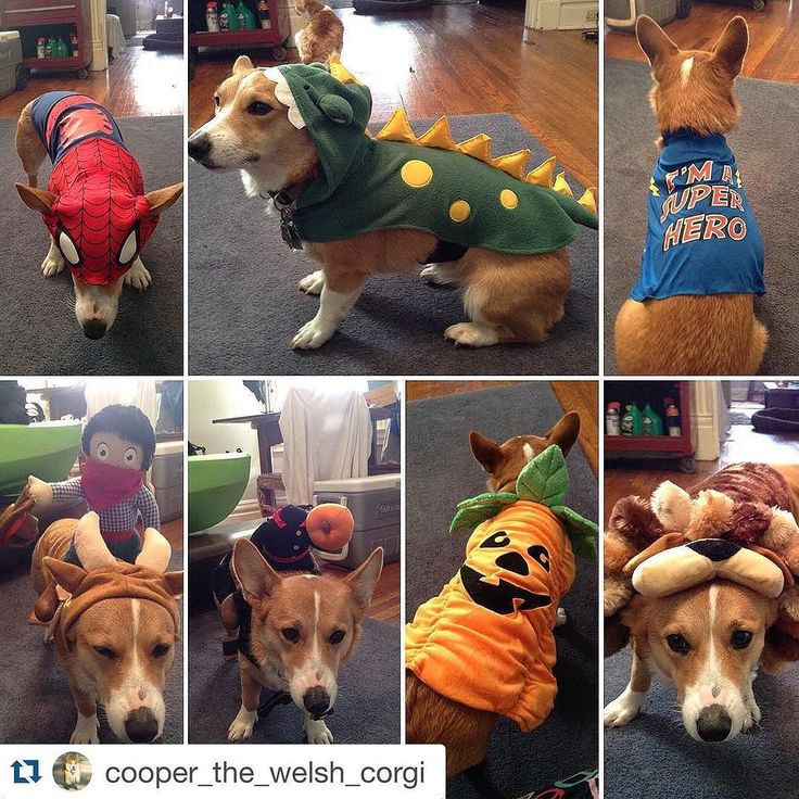 There are no words cuteness overload !!! #Repost @cooper_the_welsh_corgi .  Mom went a little crazy at @petsmart 75% off costume sale. So which is your fave? Spider-coop coopasaurous super hero dog coop-rodeo headless coop-man coop-o-lantern or coop the lion? I hear I'll be modeling some of these this weekend at fall fest! @welsh_wear #badassclub #brightenmyday #corgi #corgination #corgisofinstagram #corgicommunity #buzzfeedanimals #barkpost #barkpack #petsmart #buttheywereonsale #halloween…