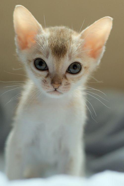 Minky has always been intense, even as a small kitten. ~ Houston