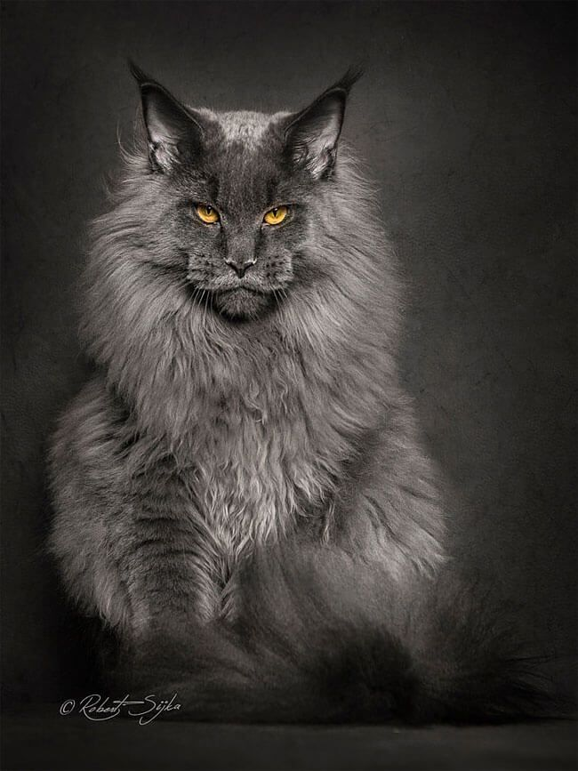 How bad do maine coons shed