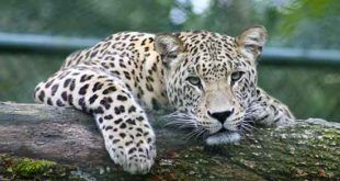 Bali Safari Marine Park Leopard Package | Prices Online Booking Ticket