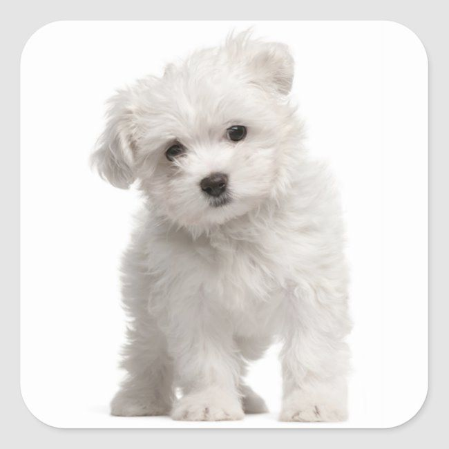 Love White Maltese Puppy Dog Canine Square Sticker Zazzle Com In 2020 Maltese Dog Breed Low Maintenance Dog Breeds Maltese Puppy
