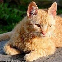 #dogalize Razas Felinas: Gato Brasileño de pelo corto características #dogs #cats #pets