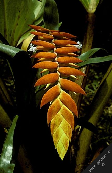 south america french guiana tropical rainforest flora plant flower heliconia vertical