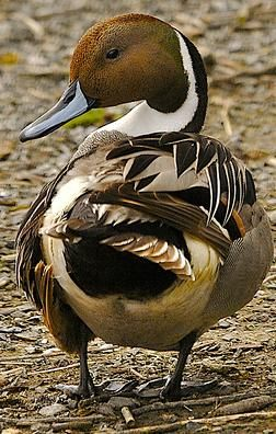 Northern Pintail (Anas acuta)- one of the first ducks to return with spring in AK