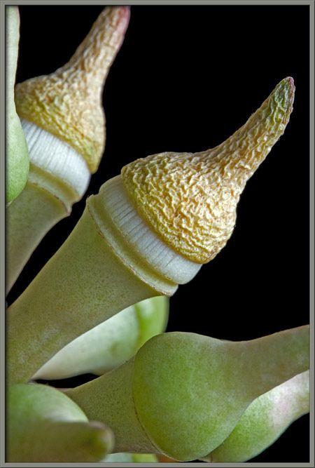 Eucalypt flower buds shedding the operculum