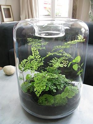 From grow little blog.  I ADORE Maiden Hair Fern but always end up killing it when I bring it in for the Winter. I need to find a glass container suitable to turn into a large terrarium for a Maiden Hair fern.  I must have it!