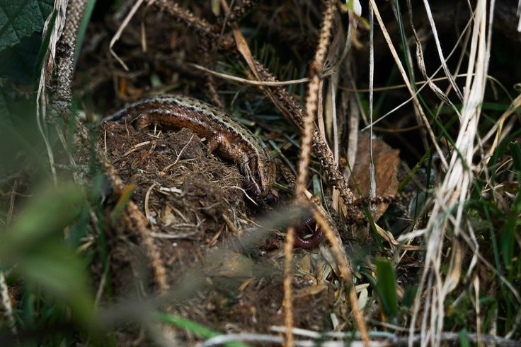 Hungry Common Lizard