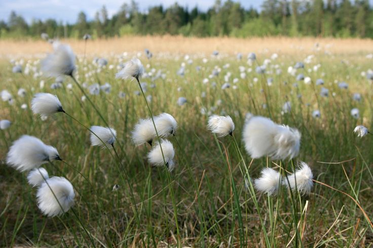 Tupasvilla | Eriophorum vaginatum | Tussock cottongrass