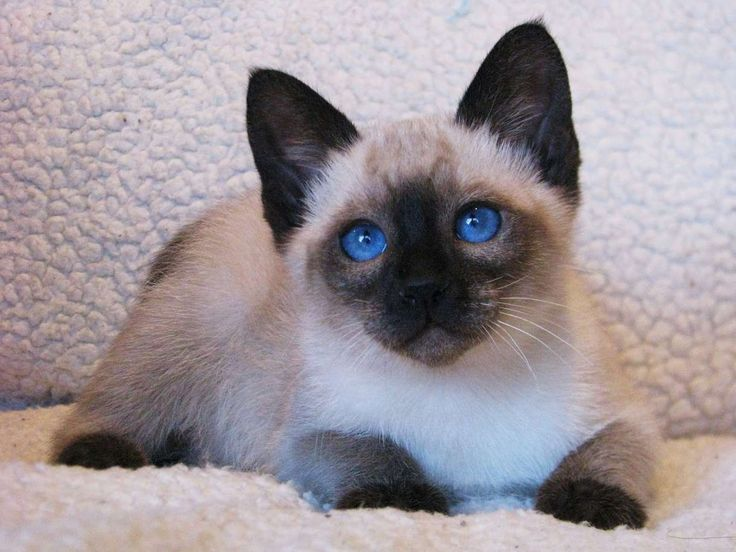 17 Best images about Traditional Siamese cats (applehead ...